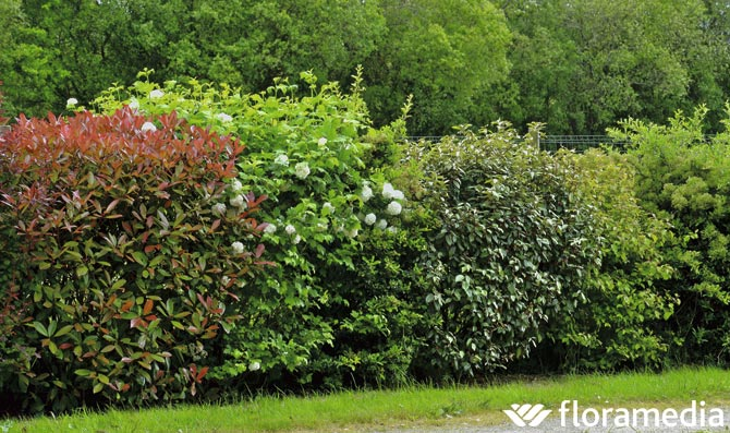 Tipos de setos for Setos para jardin